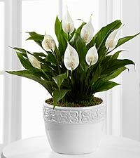 Calming Grace Peace Lily Plant - 6.5-inch diameter