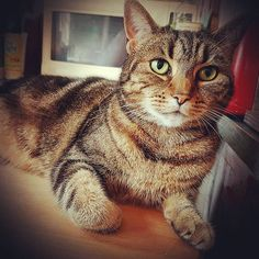 Dora Mc Tabby-Face my chunky but beautiful Classic Tabby cat, looking distinctly unimpressed under the new diet regime. What can I say fattypuss other than that I feel your pain 😘❤😽😍🌹🏳
