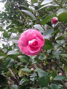 pink camellia!