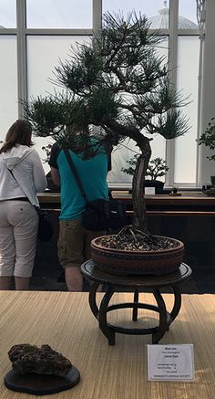 Japanese Black Pine Bonsai at the Minnesota Bonsai Society 2016 Mother's Day Show.