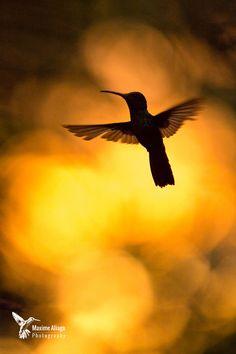 Photograph Rufous-tailed hummingbird (Amazilia tzacatl) by Maxime Aliaga on Hummingbird Migration, Hummingbird Tattoo, Disney Canvas Paintings, Beautiful Birds, Beautiful Images, Silhouette Photography, Humming Birds, Shades Of Gold, Pretty Photos