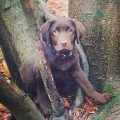 Countryside pup.  Countryside - puppy - chocolate labrador - pets - love - family - labrador - dog - chocolate lab - petersfield.