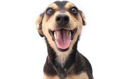 What if you could actually be a dog? You may have never thought of that before–or have you?Well, I'm gonna admit something to you: I have! You know why? Because there's nothingbetter than being a dog! Take our fun 10 question …