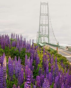 Lupine field in front of the Deer Isle, Maine bridge in the fog.