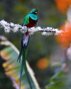 The Resplendent Quetzal plays an important role in various types of Mesoamerican mythology. It is the national bird of Guatemala, an Guatemalan quetzal. Rare Birds, Exotic Birds, Exotic Pets, Exotic Animals, Most Beautiful Birds, Pretty Birds, Tropical Birds, Colorful Birds, Beautiful Creatures