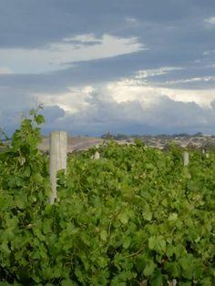 Vineyards - Kaesler Vineyards & Winery