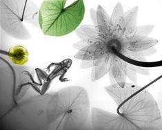 Cool X-Ray image involving a frog.