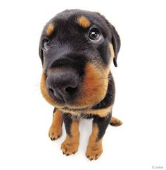 Artlist Collection THE DOG (Rottweiler) — Man and woman's best friend!