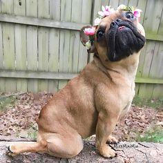 Miss Mini Mia, the French Bulldog, by @miss_mini_mia on instagram