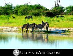African Safari , Zebras Drinking @ Chitabe. #africa #safari #african safari #africansafari #Chitabe #Ultimateafrica #animal #animals #Botswana #okavango #okavango delta #okavangodelta #holiday #vacation #luxurysafari #luxury safari #zebra #water #reflection #sky #zebras