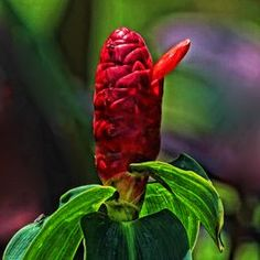Indian Head Ginger Exotic It almost looks like an animal portrait. Beautifully taken by +Helen H  #indianheadginger #exoticflowers #wallart via @hhphotography3