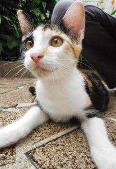 Floppy Kitty Oregon Ragdoll Cats & Kittens For Sale