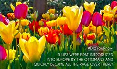 I had no idea tulips are originally from Afghanistan! Or that they're the national flower of Afghanistan, too. Planting Tulips, Planting Shrubs, Hd Flowers, That Poppy, Spring Landscape, Plants Online, Pink Tulips, Daffodils, Flower Arrangements