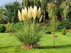 Pampass Grass (cortaderia selloana) I want some in my yard!