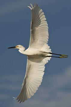 Snowy Egret, Egretta, same genus as Little Blue Heron: summer - coastal Atlantic, S Maine south & inland across W USA