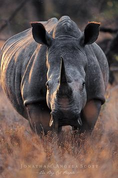 Huge rhinoceros on the African plain. - Huge rhinoceros on the African plain. Big Animals, Animals Images, Animals Of The World, Animals And Pets, Animal Pictures, Strange Animals, Safari Animals, Wildlife Photography, Animal Photography