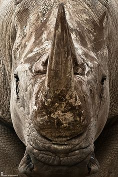 White Rhino ... Face to Face. The look when awesome weapons can't save you. Aren't those eyes asking for help? Or did you only see the horn? Learn to read the face book.