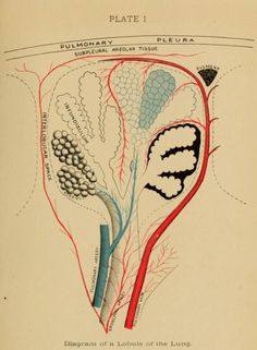 Plate I. Diagram of a lobule of the lung.Mouth hygiene : a course of instruction for dental hygienists. 1916.