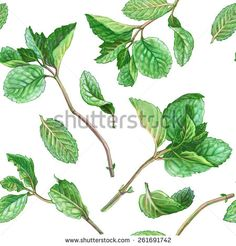 mint leaves drawing - Google Search