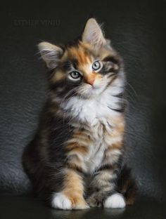 """The Rebel"" by Esther Vinju ~ Pretty Tortoiseshell Kittie ...."