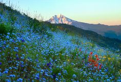 Coffin Mountain, Wild Beargrass and Red Indian Paintbrush Blooms