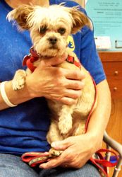 Maddie is an adoptable Yorkshire Terrier Yorkie Dog in Wichita, KS.   Maddie is a little cuddle baby who is looking for her forever home!  ... Please click on pic for additional info on this fur baby ❤❤❤❤❤❤❤❤