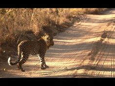 Incredible leopard kill at andBeyond Ngala Private Game Reserve