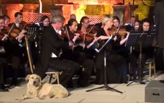 Who says you need to master an instrument to be part of an acclaimed orchestra? This dog doesn't know how to play squat — he just showed up. Of course, the rules are different for dogs. On June 20, a canine with an ear for classical music decided to saunter into a performance of Mendelssohn's 'Italian' Symphony No. 4 by the Vienna Chamber Orchestra at Turkey's International ?zmir Festival, reports Classical FM. The dog took the best seat in the house, settling down right beside one of the…
