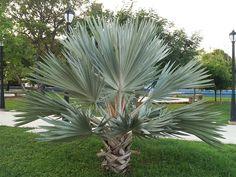 Брахея вооруженная - Brahea armata, брахея фото Palm Trees Landscaping, Tropical Landscaping, Backyard Landscaping, Landscaping Ideas, Exotic Plants, Tropical Plants, Mediterranean Plants, 10 Tree, Vegetable Garden