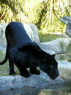 103 Best Black Panther Images Black Panther Pretty Cats Wild Animals