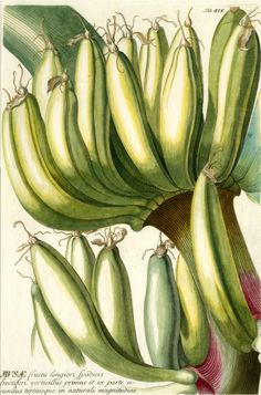 Bananas   botanic family of grasses ~