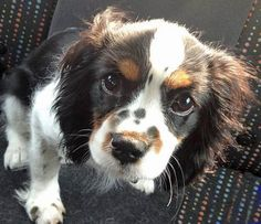 Harvey the Cavalier King Charles Spaniel puppy