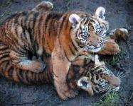 Tiger cubs at Dudley Zoo