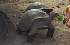 animals in the wild | Seychelles Giant Tortoise (Extinct in the Wild) - Endangered Animals