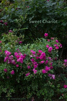 Sweet Chariot hybridized by Ralph Moore- This is a great front-of-the-border shrub and is also fabulous at reblooming and disease resistance. I bought this from Mr. Moore himself in his one-hundredth year.