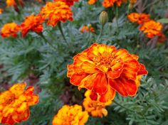 Insect repelling flower plants