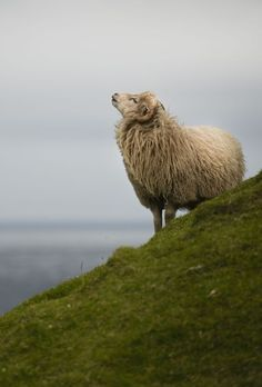 Faroese sheep on The Faroe Islands