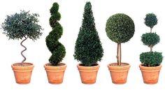 Eugenia Topiary (Cone): Interesting Plants, Topiary Topiaries, Cone Interesting, Topiary