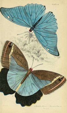 Illustration of foreign butterflies in Edinburgh by Henry G Bohn circa 1858 Vintage Butterfly, Butterfly Art, Paper Butterflies, Butterfly Illustration, Illustration Art, Nature Illustrations, Nature Prints, Art Prints, Art Japonais