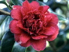 """~Camellia japonica """"CaptainBlood"""""""