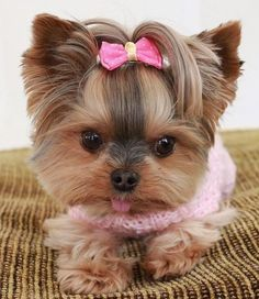 Pretty Animals, Cute Little Animals, Animals Beautiful, Biewer Yorkie, Yorkie Puppy, Cute Dogs And Puppies, Baby Puppies, Love Pet, I Love Dogs