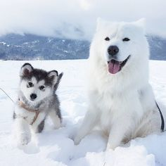 Mountian dogs @jedi_the_samoyed