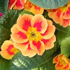 Primrose - they come in tons of colors and they like shade