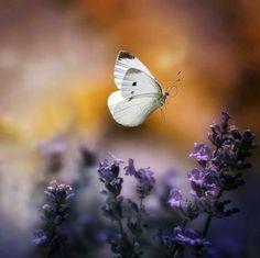 Papellona blanca preciosa.