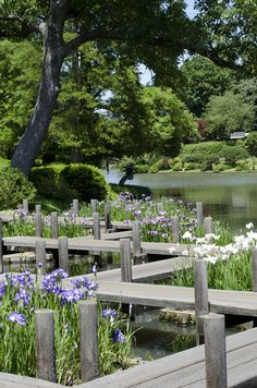 #Irises on the zig-zag bridge. Don't fall off! Photo by Cat Hendel.