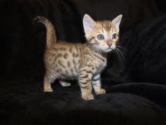 Suvi Savannahs. Savannah kitten.