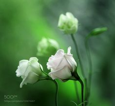 Eustoma by Mycatherina. @go4fotos