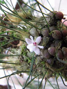 Mini Orquidea Isabelia Virginalis