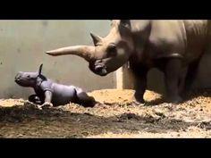Rhino Nacimiento dar y apareamiento Amor completa