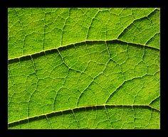 Macro of Leaf Venation - Flickr - Photo Sharing!